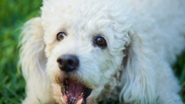 Small white poodle, outdoors in the grass barking.