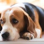 Close up of beagle with head laying on front paws