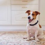 Jack Russell Terrier sitting on a rug with white cabinets in the background