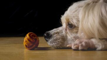small white dog with nose to the floor staring at a dog bone
