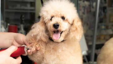 Poodle mix getting trimmed