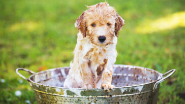 Puppy in a metal wash pan