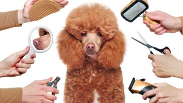 Brown poodle on white background surrounded by hands each holding a different grooming tool.