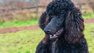 Portrait of a Black poodle outdoors