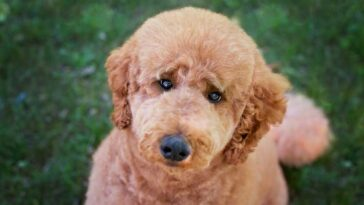 portrait of a poodle with a teddy bear cut