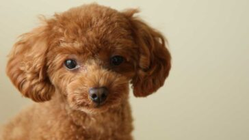 Close up portrait of a toy poodle puppy on a tan background.