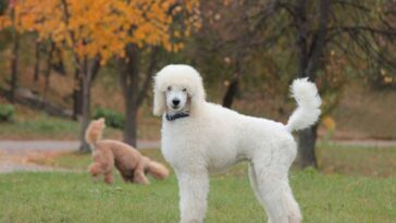 Standard white poodle standing in a grass area