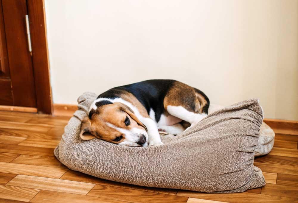 Beagle laying on a dog bed on hard wood floors