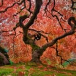 Twisted Japanese maple tree full of red leaves on a hill