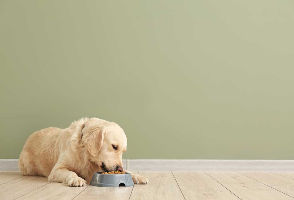 Golden Retriever with a sage green wall in the background  eating food from a plastic bowl while laying on hard wood floors