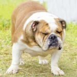 English bulldog standing in grass with face wrinkled.