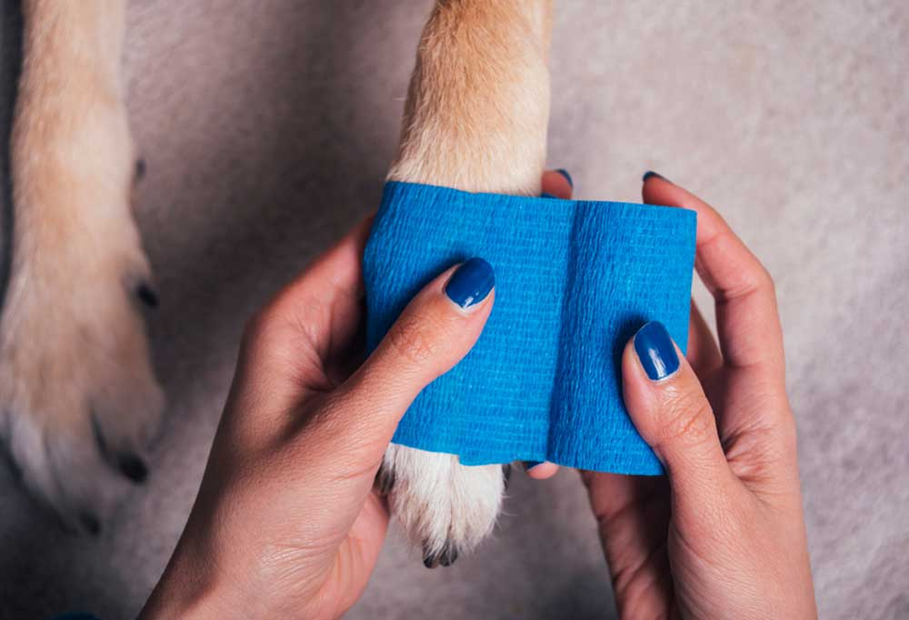 Dog paw being wrapped in blue guaze.
