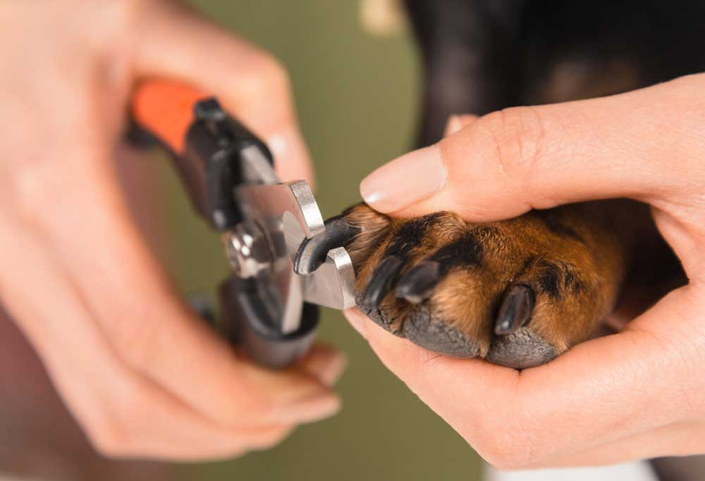 Human hand holding nail clippers to dog's nail to trim it.