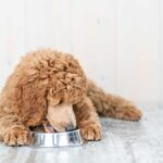 Poodle laying on grey wood floors, eating from a food bowl.