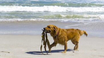Golden retriever walking on a beach with seaweed in it's mouth