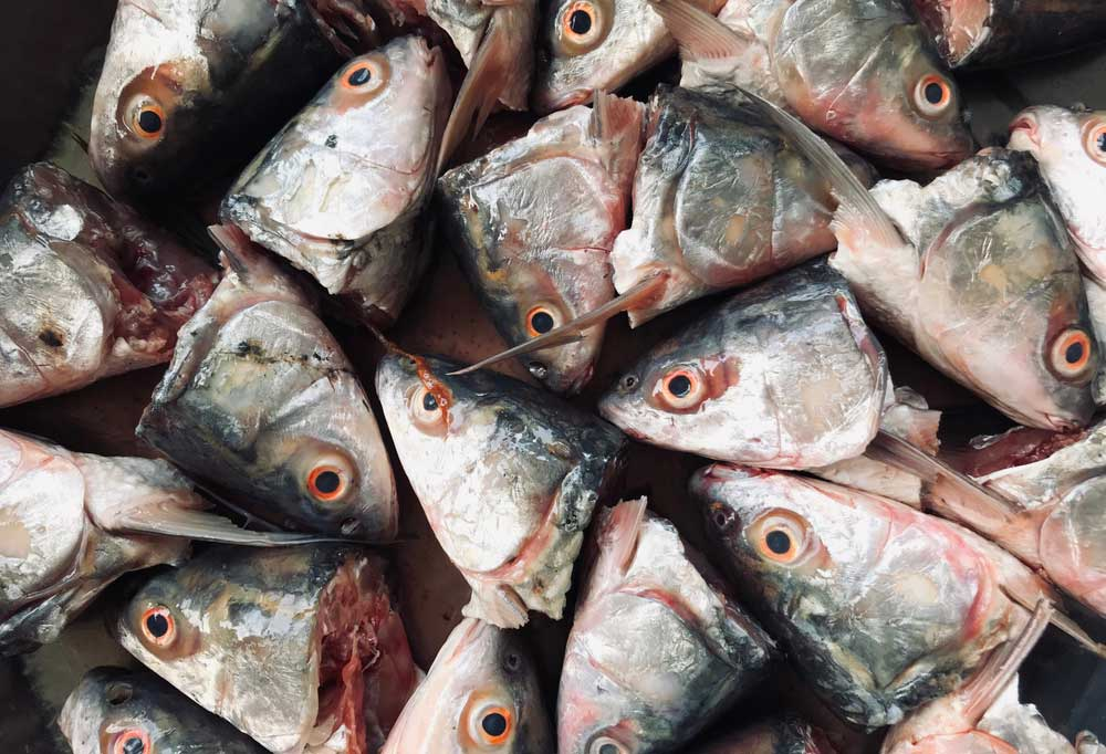close up of a pile of fish heads