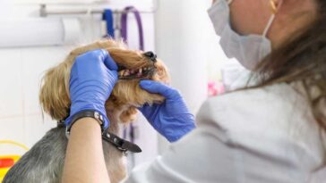 Vet looking into a yorkie's mouth