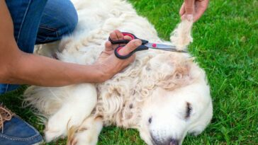 Person using scissors to cut matted fur off of a golden retriever