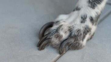 White speckled paw with overgrown nails on a tile floor