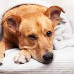 brown dog laying down on a bed covered with a blanket with head across its paw.