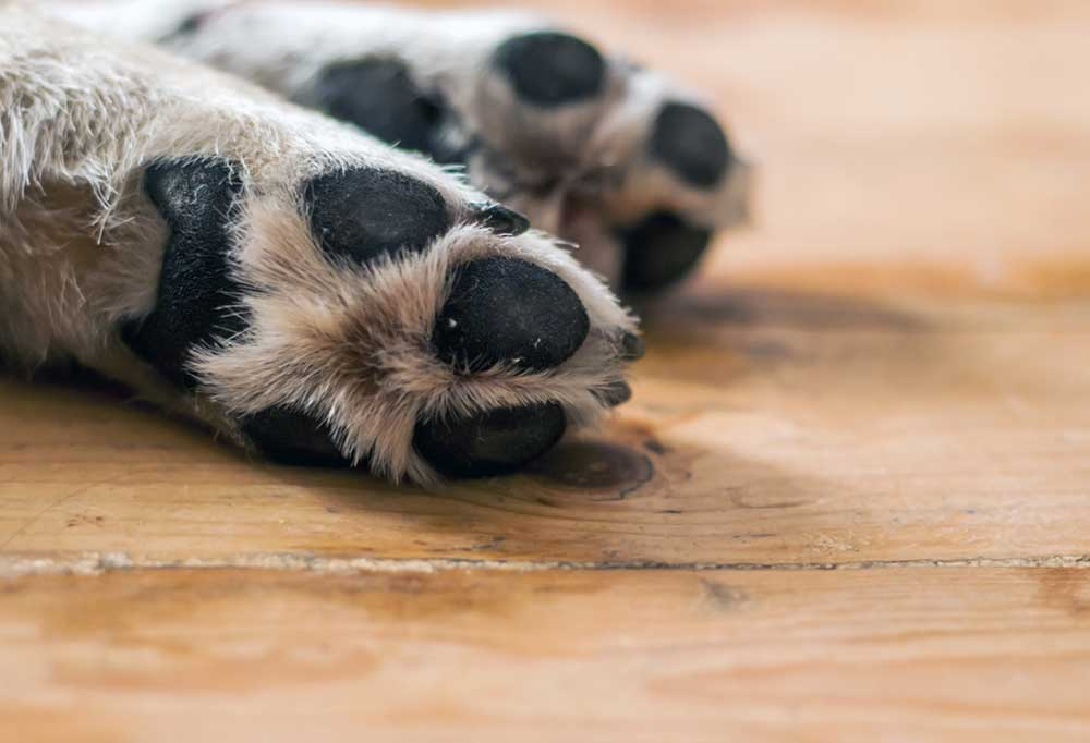 pair of white dog paws -pad side pointed towards camera- on a wooden surface