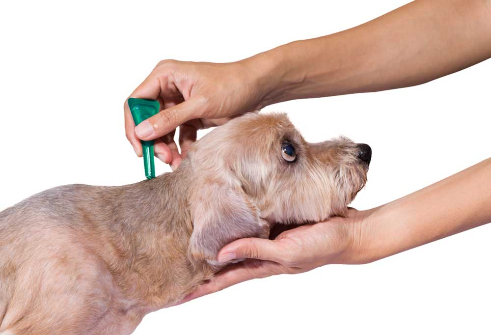 Human hands putting medication from a green tube on the back of the neck of a poodle with a short haircut