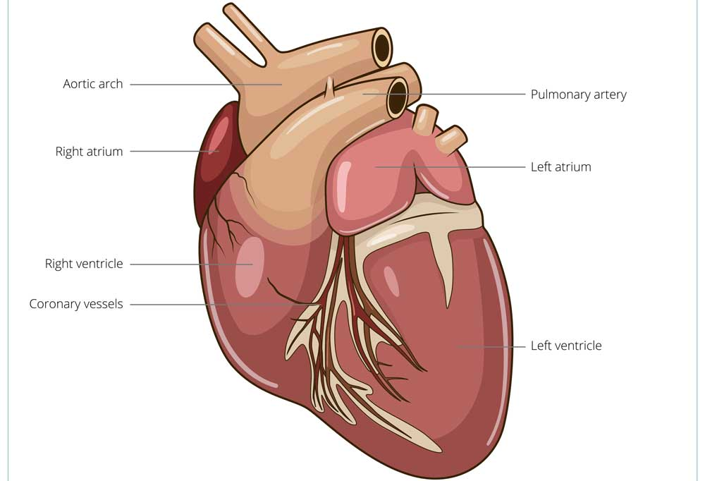 illustration of a dog's heart