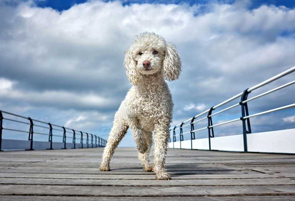 White poodle on a pier with blue skies and white puffy clouds in the background.