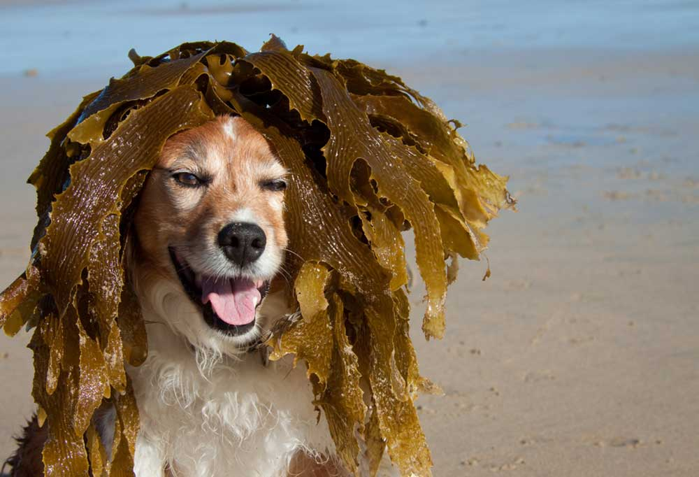 Dog at beach with seaweed draped over its head