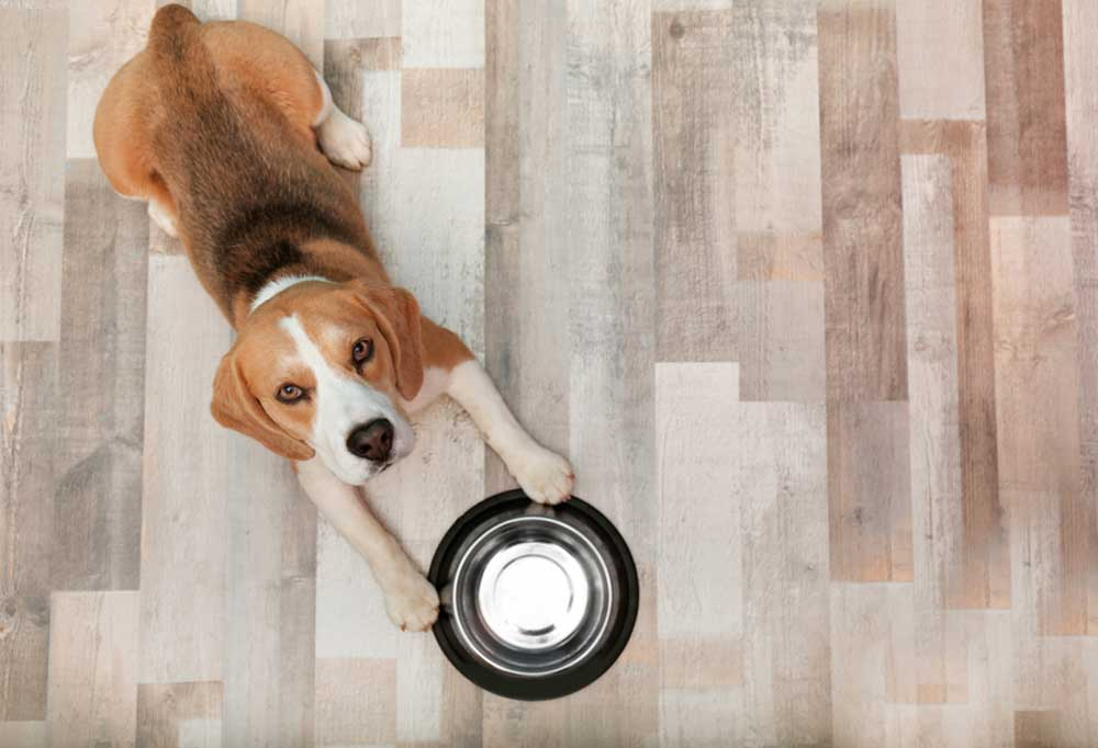 Beagle holding silver bowl between front paws on wooden floor
