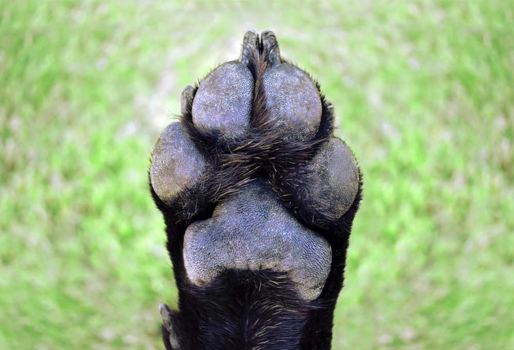 Pad view of a black dog paw with blurred grass as a background