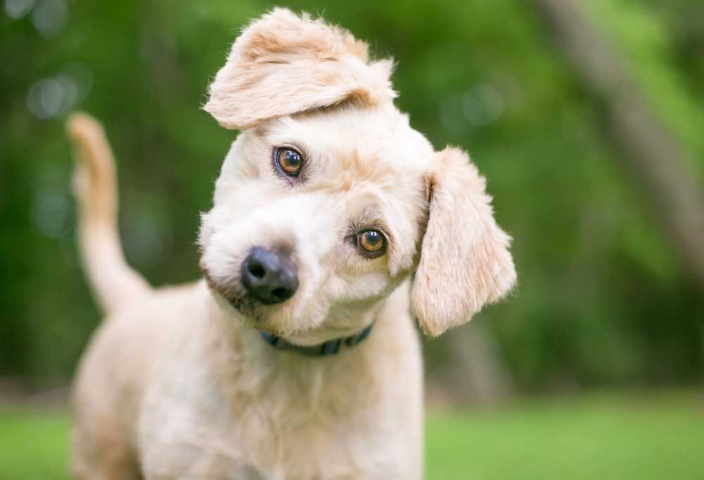 Poodle mix with its head tilted