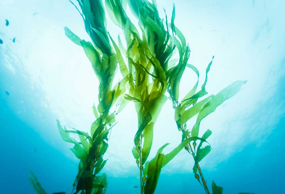 View looking up from in the ocean towards the surface with kelp swaying in the current