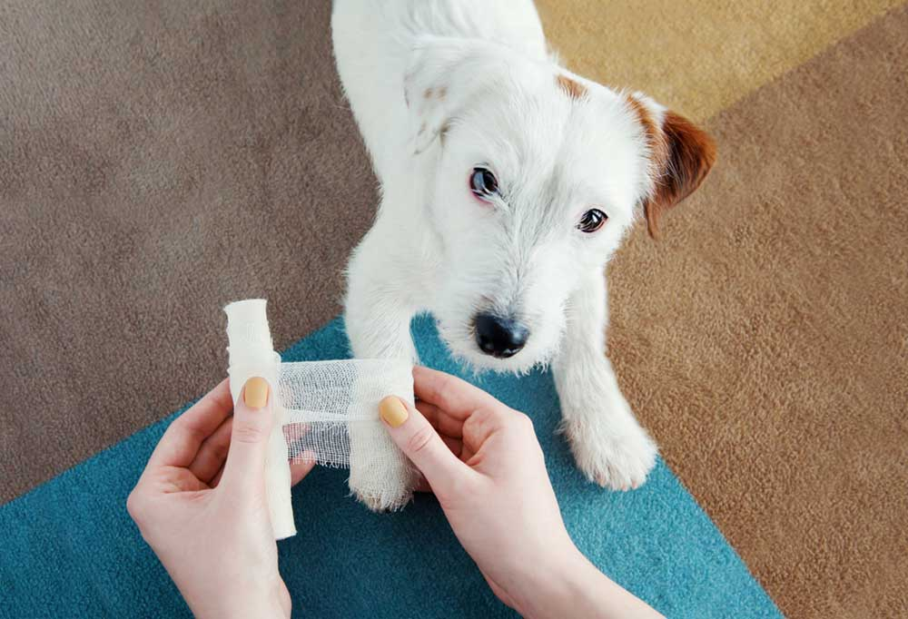 overhead view of Jack Russell Terrier puppy having paw wrapped with gauze