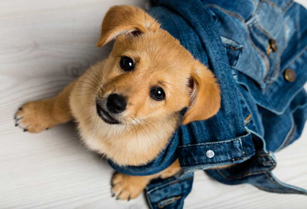 Puppy looking up at camera while tangled in a denim jacket