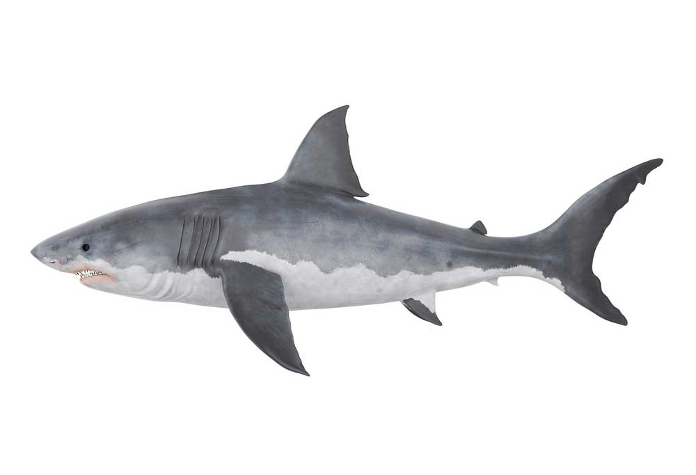 Shark isolated on a white background