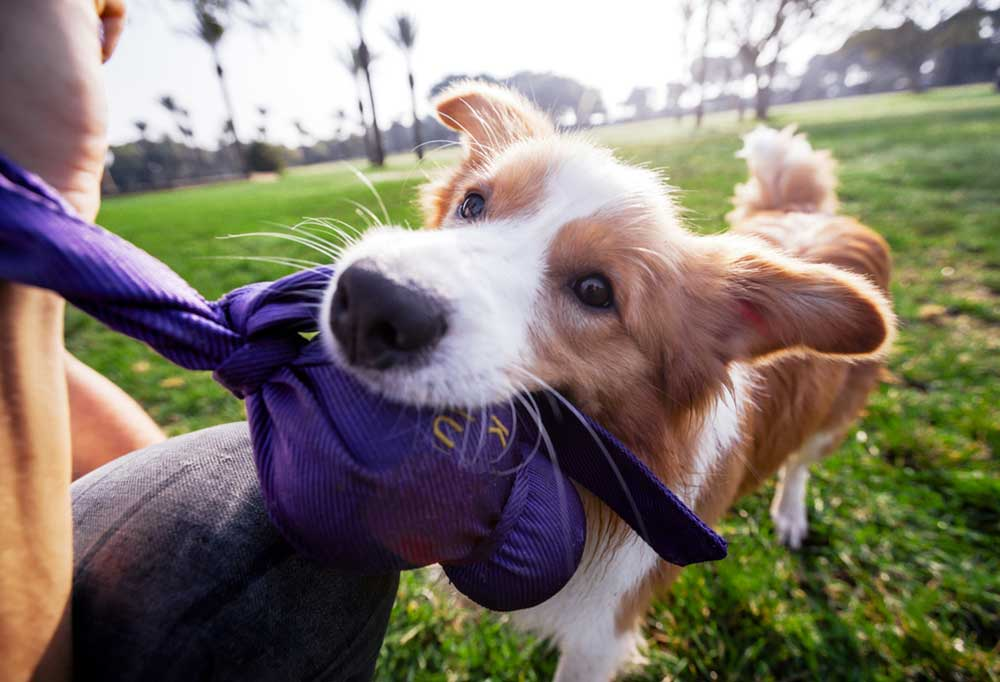 Brown and white long haired dog chewing on a toy made with purple fabric.