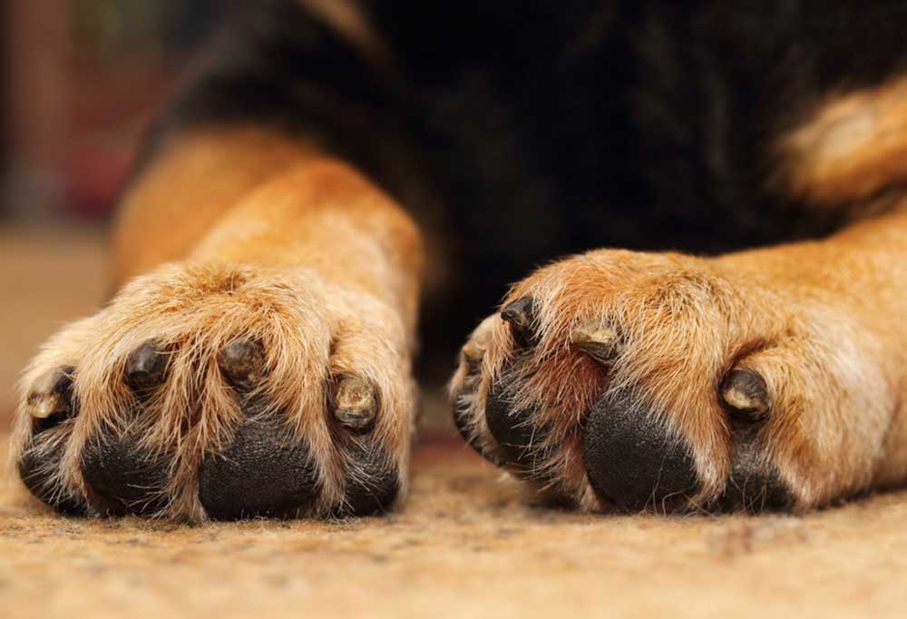 end view of the nails of a black and tan dog. All the nails are chipped or broken