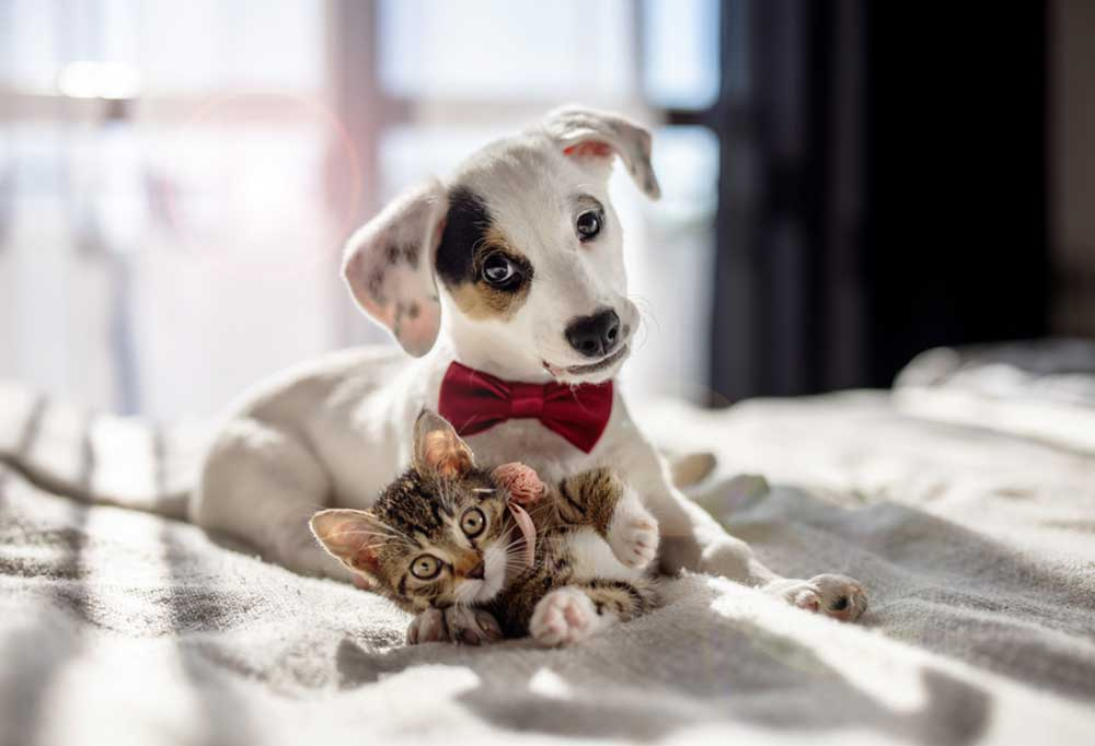 White puppy wearing a red bowtie with a colorful patch over its eye laying on a bed with a kitten