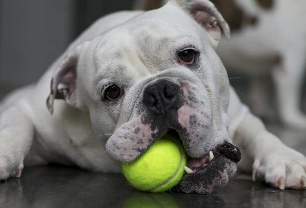 English bulldog laying on the floor chewing a tennis ball