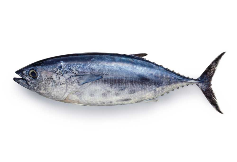 Tuna isolated on a white background