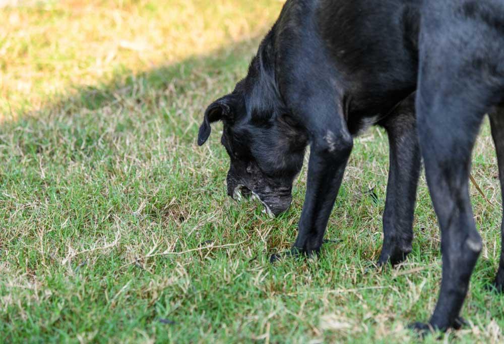 Black Lab vomiting in grass