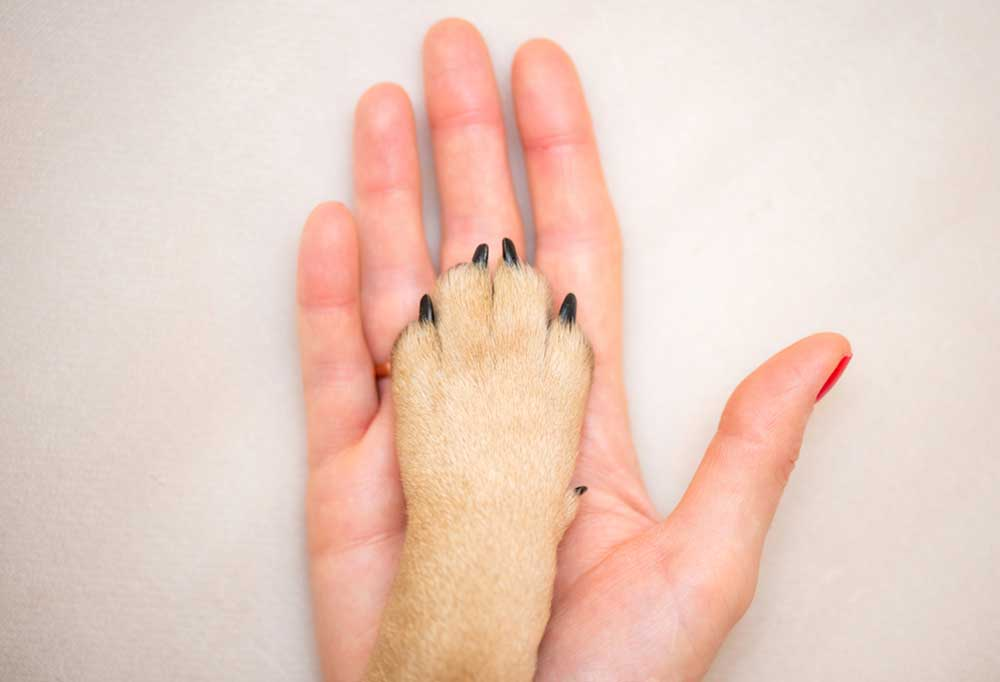 Tan dog paw laying in persons hand, isolated on a white surface