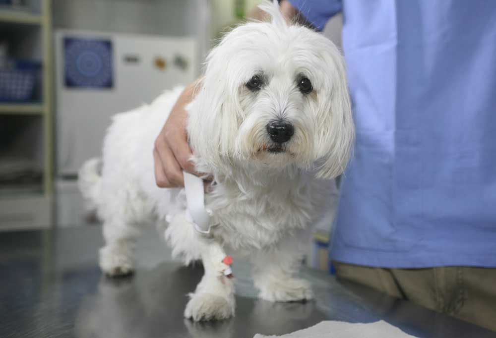 White long haired dog standing on an exam table with vets arm over its back
