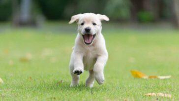 Yellow lab puppy running across a grass yard