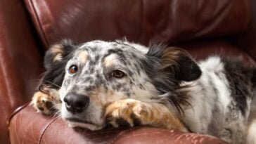 Speckled cattle dog laying quietly on a leather chair