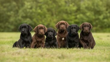 Black and chocolate Labrador retriever puppies sitting in grass