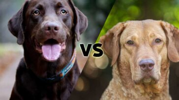 pictures of a chocolate Labrador Retriever and a Chesapeake Bay Retriever meeting on the diagonal in the middle with the letters vs in the center
