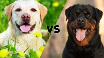 Photos of a yellow lab and a Rottweiler meeting on the diagonal in the middle with the letters vs in the center