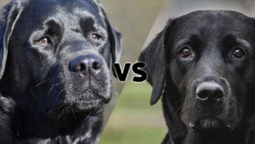 Photos of a Labrador Retriever and a English Lab meeting in the middle on the diagonal with the letters vs in the middle
